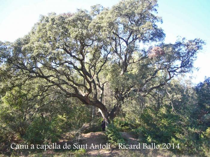Capella de Sant Antolí – Monistrol de Montserrat - Itinerari. - Roure.