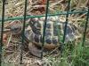 Camí de Palau Novella a Sitges - La Pleta - Zona on es recupera fauna autóctona, en aquest cas, una tortuga