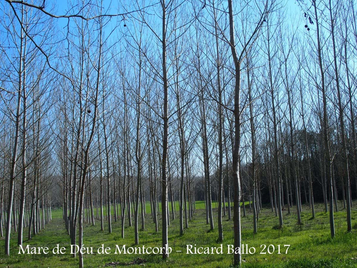 Camí d'accés a la Capella de la Mare de Déu de Montcorb – Riudarenes - Una mostra de les boniques arbredes d'aquest paratges