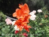 Capella de Sant Jaume de Castelló – Olesa de Montserrat - No hem pogut resistir la temptació de fotografiar aquesta bonica flor ...