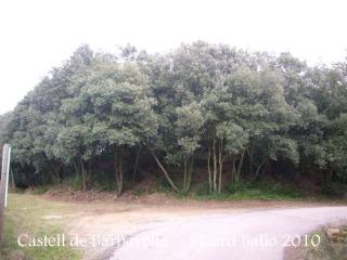 Castell de Barbavella. Sota aquesta espessa arbreda trobarem les restes del castell.