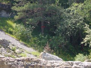 Castell de Besora - Arbre amb senyal vermell: