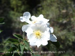 Camí a l'ermita de Sant Quintí - Flor silvestre