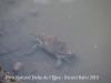 Parc Natural del Delta de l'Ebre – Baix Ebre - Aquí hi veiem la imatge d'un cranc  de bona mida ...