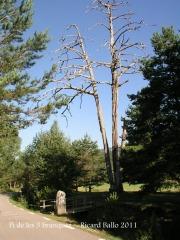 Pla de Campllong - El Pi de les tres branques